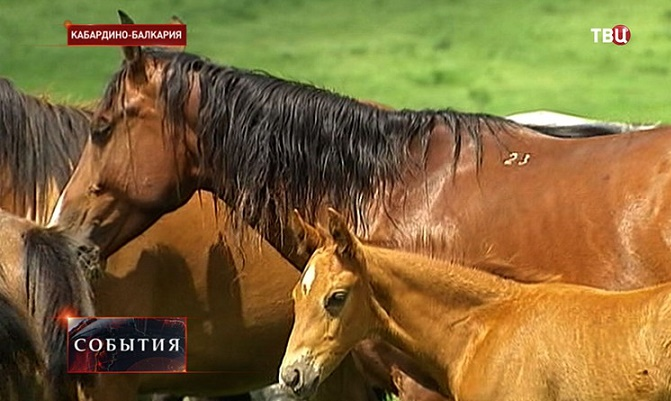 Reviving the Legendary Kabardian (Circassian) Horse in Kabardino-Balkaria